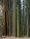 Forêt nationale de séquoia Image libre de droits