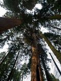 Forêt nationale de séquoia Photos libres de droits