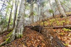 Forêt naturelle brumeuse avec les arbres tombés et arbre avec des coupes de signes Photos stock