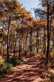 Forêt naturelle de pin d'automne près de rivière de Sogang, Gangwon, Kor du sud image stock