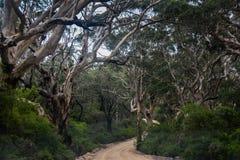 forêt noueuse Margaret River Western Australia d'eucalyptus Image stock