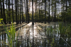 Forêt noyée Photos stock