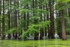 Forêt noyée Images stock