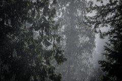 Forêt pluvieuse de pin, Washington Photo libre de droits