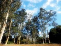 Forêt Portugal de globulus d'eucalyptus Photographie stock