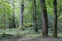 Forêt primitive à feuilles caduques d'été avec de vieux arbres Image libre de droits
