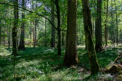 Forêt primitive à feuilles caduques d'été avec le vieil arbre impeccable Image stock