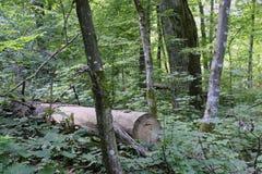 Forêt primitive à feuilles caduques d'été avec le vieux chêne à l'arrière-plan Photo libre de droits