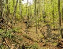Forêt primitive de hêtre Image libre de droits