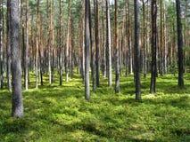 Forêt rêveuse de pin Images libres de droits