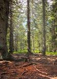 Forêt rectifiée avec beaucoup de racines Image stock