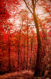 Forêt rouge Photo stock