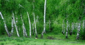 Forêt russe Photos stock