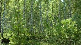 Forêt russe - fond naturel banque de vidéos