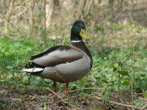 Forêt sauvage de canard au printemps Image libre de droits