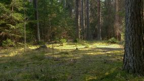 Forêt sauvage de pin avec de la mousse verte sous les arbres banque de vidéos