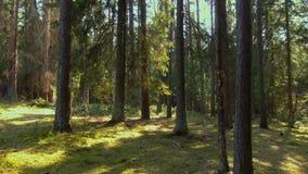 Forêt sauvage de pin avec de la mousse verte sous les arbres clips vidéos