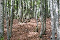 Forêt scénique fascinante d'arbre de hêtre Photos libres de droits