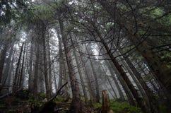Forêt sinistre de pin photographie stock