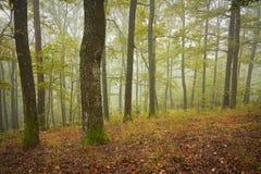 Forêt slovaque de chêne en brouillard Photographie stock libre de droits