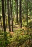Forêt sombre photos stock