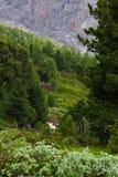 Forêt suisse de pin en pierre et de sapin de Norvège photographie stock libre de droits