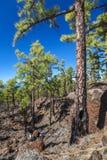 Forêt sur la lave sur Ténérife Image libre de droits