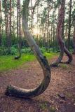 Forêt tordue célèbre images stock