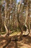 Forêt tordue dans Nowe Czaernowo, Pologne Photographie stock libre de droits