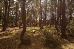 Forêt tordue dans Nowe Czaernowo, Pologne Image libre de droits