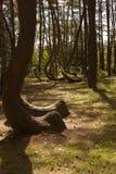 Forêt tordue dans Nowe Czaernowo, Pologne Photographie stock