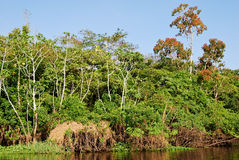 Forêt tropicale d'Amazone : Aménagez en parc le long du rivage du fleuve Amazone près de Manaus, Brésil Amérique du Sud Image libre de droits