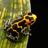 Forêt tropicale d'Amazone de grenouille de flèche de poison photos libres de droits