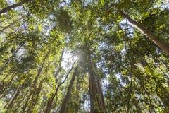 Forêt tropicale de cairns photo stock