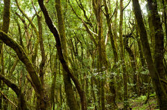 Forêt tropicale en stationnement national de Garajonay (La Gomera) Images libres de droits