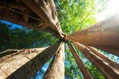Forêt tropicale ensoleillée avec l'arbre tropical de banian géant cambodia Photo libre de droits