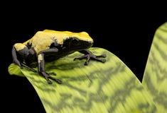 Forêt tropicale jaune du Brésil de grenouille de dard de poison Photographie stock libre de droits