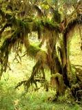 Forêt tropicale, stationnement olympique Photographie stock libre de droits