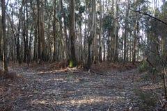 Forêt typique en Galicie image libre de droits