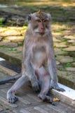Forêt Ubud de singe dans Bali Indonésie Image libre de droits