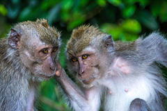 Forêt Ubud de singe dans Bali Indonésie Photos stock