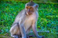 Forêt Ubud de singe dans Bali Indonésie Images stock