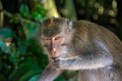 Forêt Ubud de singe dans Bali Indonésie Photos libres de droits