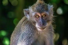 Forêt Ubud de singe dans Bali Indonésie Photo libre de droits