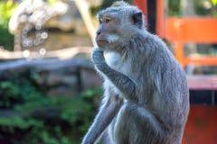Forêt Ubud de singe dans Bali Indonésie Images libres de droits