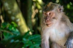 Forêt Ubud de singe dans Bali Indonésie Photographie stock