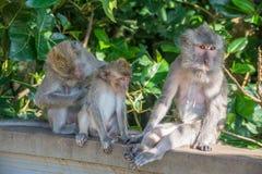 Forêt Ubud de singe dans Bali Indonésie Photographie stock libre de droits