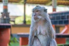 Forêt Ubud de singe dans Bali Indonésie Photo stock