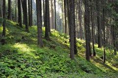 Forêt verte avec les arbres et la lumière Herbe sur le groud image libre de droits