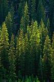 Forêt verte d'arbre de pin Photos libres de droits